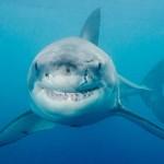 Shy Sharks