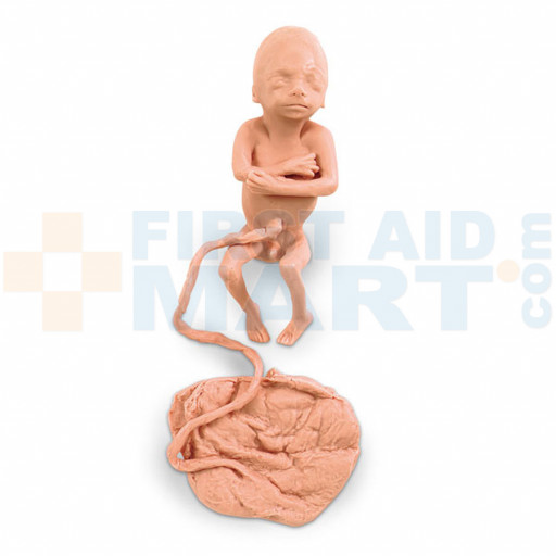 Human Fetus Replica - 5 Month Male - LF00830U