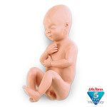 Human Fetus Replica - Full-Term Male - LF00931U
